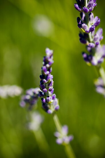 French Lavender, Adelaide Botanic Gardens by Elana Bailey