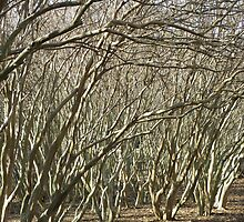 Crepe Myrtle Forest - Wintertime by AJ Belongia