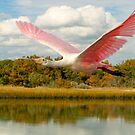 Spoonbill at Pawleys Island by imagetj