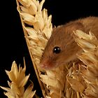 Harvest Mouse 3 by marktc