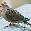 Morning Dove by barnsis
