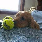Cocker Spaniel Charlie and his balls by maggiepoohbear
