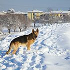 German Shepherd in Snow by catiapancani