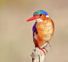 Malachite Kingfisher by Lamprecht
