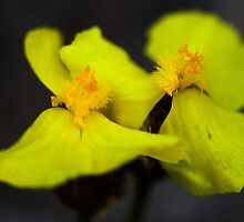 Xyris Complanata by andrachne
