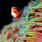 Pink Anemone Fish by John Marriott