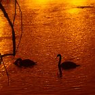Swans on Golden Pond by Jane Neill-Hancock
