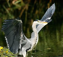 Grey Heron by ardudley