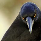 north head manly - yellow eyes by miroslava