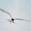 Forster&#x27;s Tern Upon Cirrus Skies by Susan Gary