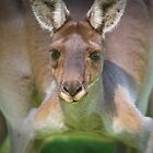 Australian Wildlife by Darren Speedie