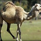 Outback Camel by Darren Speedie