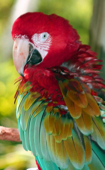 Beautiful Macaw by Sheryl Unwin
