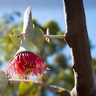 Budding Eucalyptus Macrocarpa by Darren Speedie