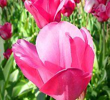Perfect Pink Tulips by Darren Speedie