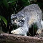 Pallas cat on Branch by Dave Tucker