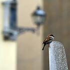 I am only a little sparrow! I live in Florence, and you? by Aleksandar Topalovic