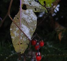 First Snow with Red Berries (2) by goddarb