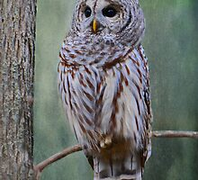 Barrred Owl by Lynda   McDonald