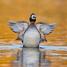 Rise of the Scaup by Daniel  Parent