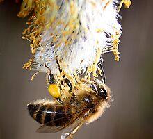 Honey Bee by jonlenton