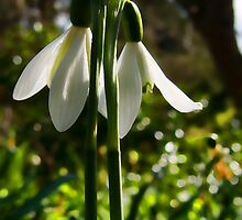 Spring Snowdrops at Mangerton Mill, Dorset by Susie Peek
