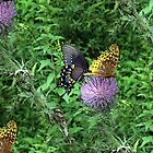 Butterflies and Thistle by Virginian Photography (Judy)