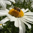 Bee feasting on a daisy by Susan Glaser