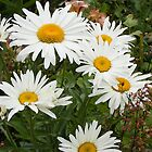 Nine daisies by Susan Glaser