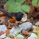 Male Spotted Towhee - Vancouver, British Columbia by Stephen Stephen