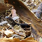 Common Kingsnake ~ (Lampropeltis getulas) by Kimberly P-Chadwick