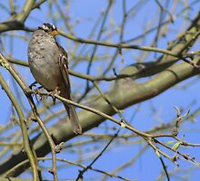 White-crowned Sparrow ~ Adult II by Kimberly Chadwick