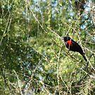 Red-winged Blackbird ~ Male by Kimberly Chadwick