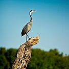 Black headed Heron - Perched by RatManDude