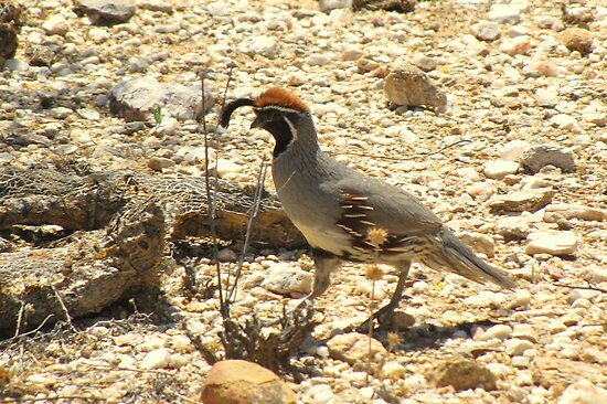 Gambels Quail ~ Male by Kimberly P-Chadwick