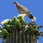 White-winged Dove by Kimberly P-Chadwick