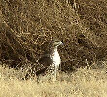 Red-tailed Hawk ~ Sitting Still by Kimberly Chadwick