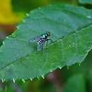Tiny The green fly by Rick Playle