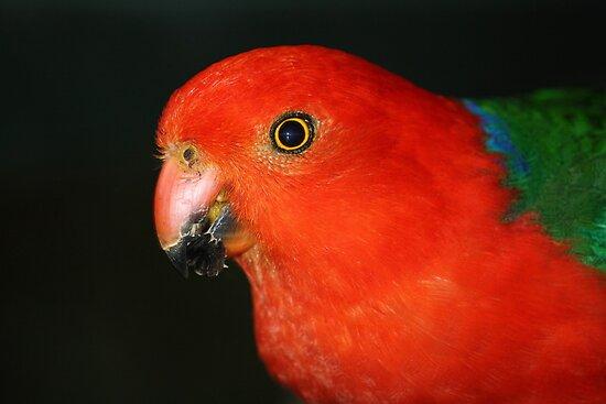 Christmas Colours - King Parrot  by aussiebushstick