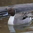 Northern Pintail Drake by Stephen Stephen
