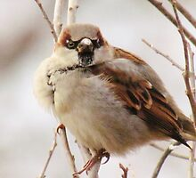 House Sparrow by lorilee
