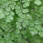 Maidenhair fern by Trish Peach