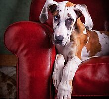 Great Dane Puppy enjoys the Couch by baileyandbanjo