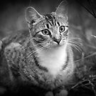 tabby cat by Clare Colins