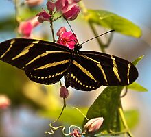Zebra Longwing by Maria Aiello