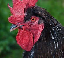 Images of Brunswick #5 Rooster at CERES Environment Park by Sharon McDowall
