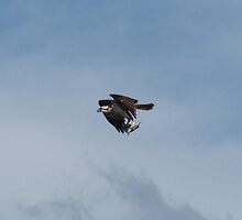 Ospreys Successful fishing trip by Thomas Mckibben