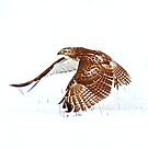 Red-tailed Hawk - Uprising by Jim Cumming