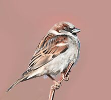 House Sparrow Profile by (Tallow) Dave  Van de Laar