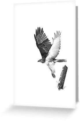 Red-tailed Hawk - B&W by Jim Cumming